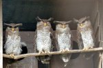 16_Owls_in_the_birdpark