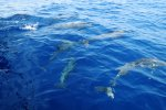 Spinner dolphins (Stenella longirostris) visiting our boat