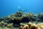 36_A_field_of_soft_corals_(Sarcophyton_sp)_at_North_Cinque_Island