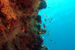 42_Reef_wall_with_Gorgonian_fans_and_lots_of_anthias_(Riffwand_mit_Gorgonien_und_vielen _Fahnenbarschen)-Bulhala_Fushi-Ari