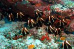 49_A_group_of_Indian_bannerfish-Heniochus_pleurotaenia_(Phantom-Wimpelfisch)-Vattaru_Falhu