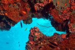 63_Beautiful_part_of_the_reef_in_the_shade_with_Clathraria_maldiviensis_(Malediven-Knotenkoralle)-Meemu_North_Kandu
