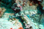 88_Reef_lizardfish_getting_cleaned-Synodus_variegatus_(Gemeiner_Eidechsenfisch)-Melaimu_South-Gaafu