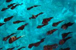 34_School_of_bigfin_reef_squids_next_to_our_boat