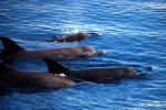 01_Indopacific_bottlenose_dolphins_(Tursiops_aduncus)_close_to_Huavenfushi