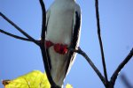 02_red-footed_booby_(Sula_sula)_looking_at_us