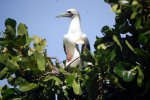 08_red-footed_booby_(Sula_sula)_after_mating