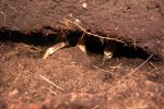 18_The_burrow_of_a_coconut_crab_(Birgus_latro)