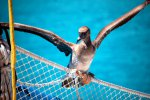 48_Our_friend_the_brown_booby_(Sula_leucogaster)