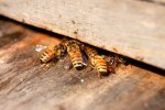 11_Bees_returning_to_their_hive_after_work