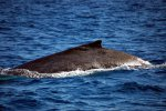 13_Close_up_of_humpback_whale_showing_us_his_dorsal_fin