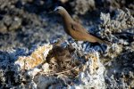 12_Black_noddy_(Anous_minutus)_with_juvenile_in_his_nest