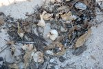 17_Some_empty_turtle_eggs_in_one_of_the_nests