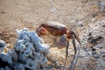20_Mudcrab_looking_for_something_to_eat