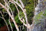 08_Sifaka-lemurs_sitting_in_the_trees