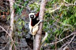 09_Sifaka-Lemur_looking_like_a_plush_toy