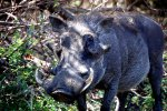 05_Eye_to_eye_with_a_Common_Warthog_(Phacochoeros_africanus-Warzenschwein)