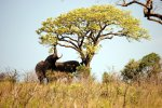 07_Two_African_elephants_(Loxodonta_africana)_eating_leaves_of_a_tree
