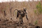 10_Young_Baboon_(Papio_hamadryas_ursinus-Pavian)_sleeping_on_mothers_back