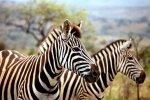 11_Plains_or_Burchells_Zebra_(Equus_quagga-Steppenzebra)