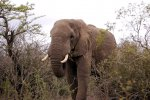 14_Elephant_(Loxodonta africana)_eating_next_to_the_street_about_2_meters_away