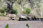 20_Group_of_White_Rhinos_(Ceratotherium_simum-Breitmaulnashorn)_enjoying_the_mud_in_a_waterhole