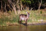 27_Male_Waterbuck_(Kobus_ellipsiprymnus-Ellipsen_Wasserbock)_coming_to_drink