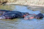 28_Female_and_young_hippopotamus_(Hippopotamus_amphibius-Nilpferd)_sleeping_during_the_day