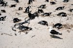 05_African_penguins_are_social_breeders_and_nist_in_colonies