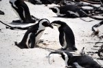 08_African_penguins_only_start_breeding_at_four_years_of_age