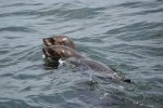 24_The_African_or_Cape_Fur_Seal_(Arctocephalus_pusillus_pusillus)_is_the_main_food_source_for_Great_White_Sharks
