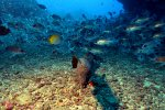 15_Goldentail_Moray_attacking_the_camera-Gymnothorax_miliaris_(Goldschwanz_Muraene)
