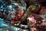28_Two_Spotted_Scorpionfish_resting_together-Scorpaena_plumieri_(Gefleckter_Skorpionsfisch)