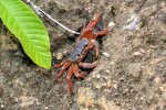 24_The_landcrabs_(Johnghartia_lagostoma)_are_confined_to_the_mountainous_interior_with_higher_rainfalls
