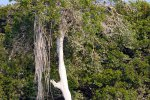 02_Huge_impressive_mangrove_tree