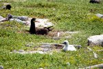15_Brown_Booby_chick_and_mother-Sula_leucogaster_(Brauner_Toelpel)