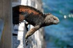 20_Marine_Iguana_(Amblyrynchus_cristatus_mertensi-Meeresechse)_right_at_the_pier_in_Baquerizo_Moreno