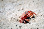 53_Ghost_crab_(Osypode_gaudichaudii-Geisterkrabbe)_on_Playa_Grande