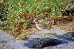 55_Semi-palmated_Plover_(Charadrius_semipalmatus-Amerika_Sandregenpfeifer)_looking_for_food