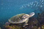 07_Lots_of_Galapagos_green_turtles_(Chelonia_mydas_agassisi)_are_feeding_in_Loberia