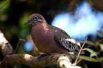 32_The_beautiful_endemic_Galapagos_Dove_(Zenaida_galapagoensis-Galapagos-Taube)_is_a_reluctant_flier_so_Darwin_was_able_to_knock_them_down_with_his_hat