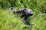 10_Marine_Iguana_(Amblyrhynchus_crsitatus_albermarlensis-Isabela_Meeresechse)_sitting_on_a_gras_patch_in_one_of_the_saline_ponds