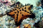 23_Chocolate_Chip_Sea_Star_(Nidorellia_armata-Schokolade-Seestern)_at_Laguna_de_Perla
