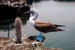 38_Blue-footed_Booby_(Sula_nebouxii_excisa-Blaufuss-Toelpel)_up_close