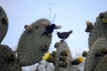 57_Two_Cactus_Ground_Finches_in_a_mating_dance_(Geospiza scandens-Kaktus-Grundfink)