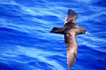 01_Murphys_Petrel_greeting_us_on_our_arrival_at_Oeno_atoll