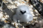 04_Tropicbird_chick_waiting_to_be_fed