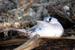 07_Tropicbird_sleeping_on_his_egg_onthe_ground