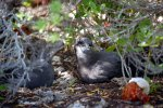 18_Breeding_pair_of_Murphys_Petrels_(Pterodoma_ultima)