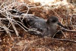19_There_are_believed_to_be_12000_breeding_Murphys_Petrels_on_Oeno_Island